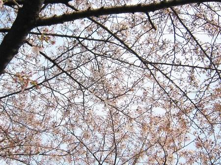 2014年桜